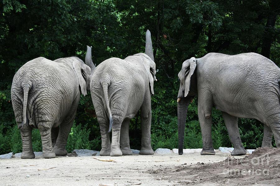 Elephant Photograph - Elephant Trio by Karol Livote