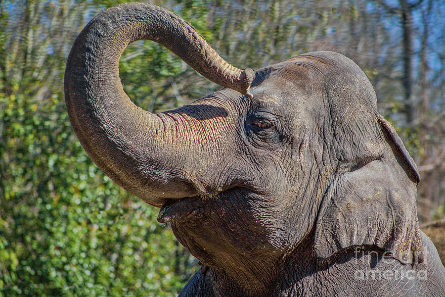 Elephant With Curled Trunk Photograph