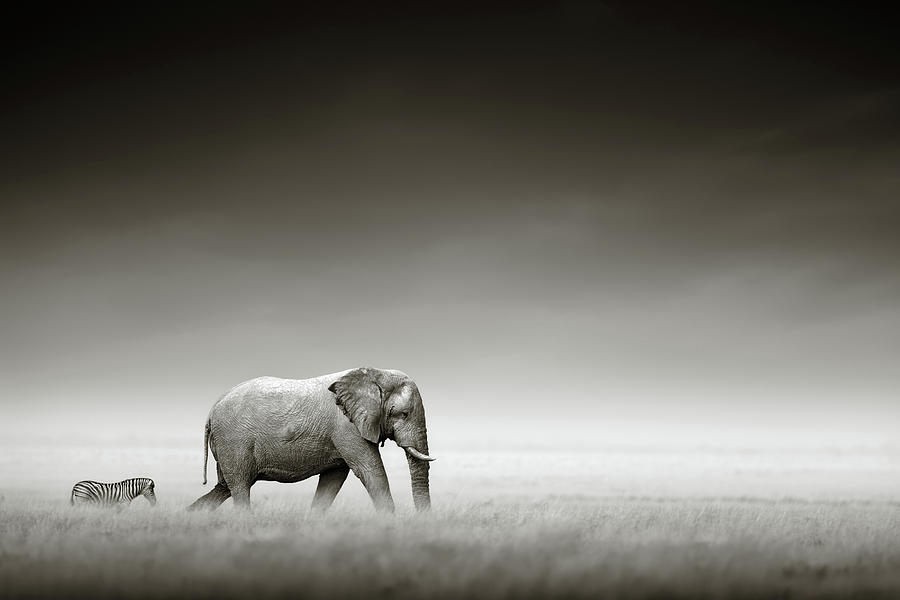 Elephant with zebra Photograph by Johan Swanepoel