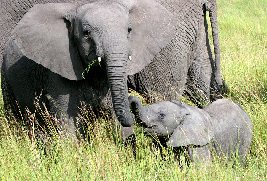 Elephants Photograph - Elephants - Little Sister by Nancy D Hall