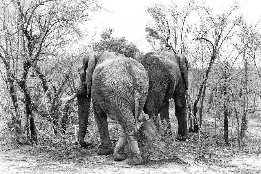 Elephant Photograph - Elephants Black And White by Jane Rix