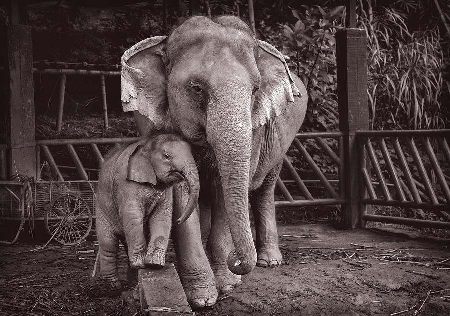 Limited Edition Elephants BuaThong and Am by Lee Craker
