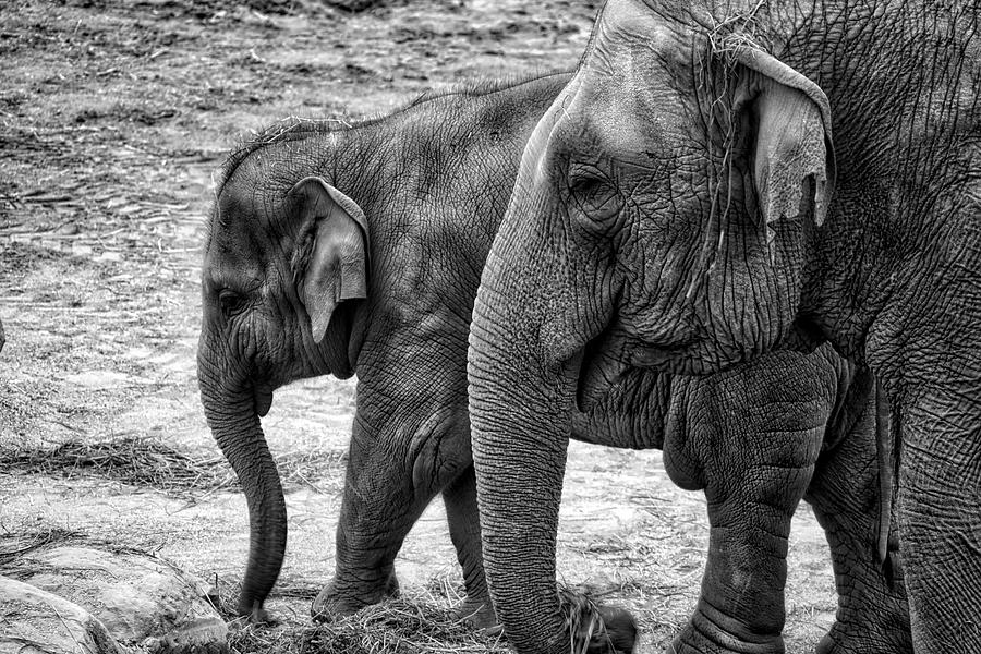 Elephants BW by Ingrid Dendievel