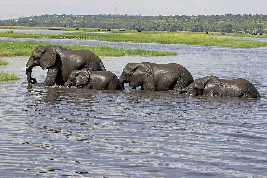 Elephants Crossing Chobe River Photograph By Tony Murtagh - Chobe river