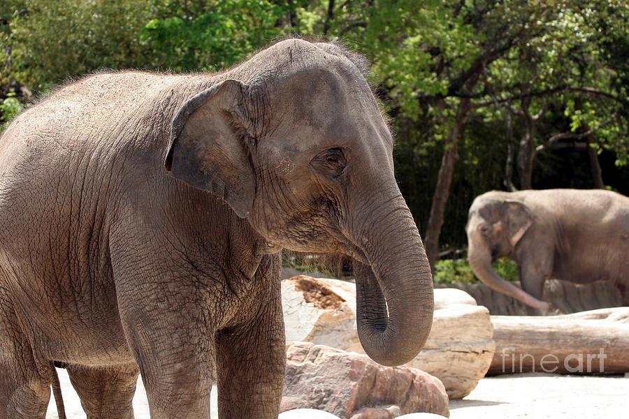 Asian Elephant. Elephant Photograph - Elephants by Jeannie Burleson