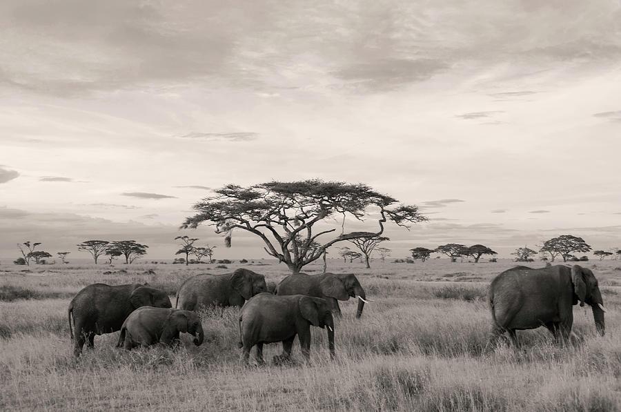 Elephants by Stefano Buonamici
