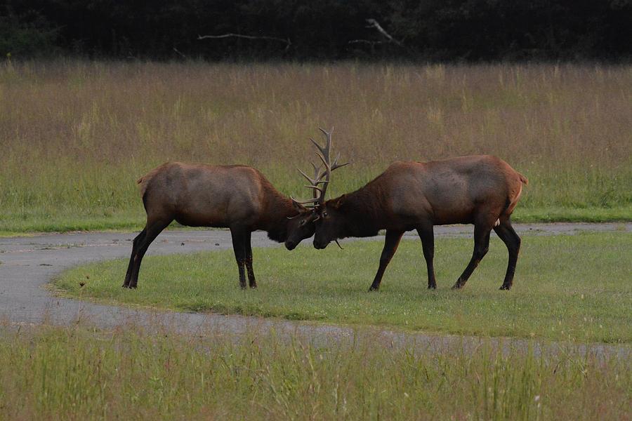 Elk Argument by Sue Jarrett