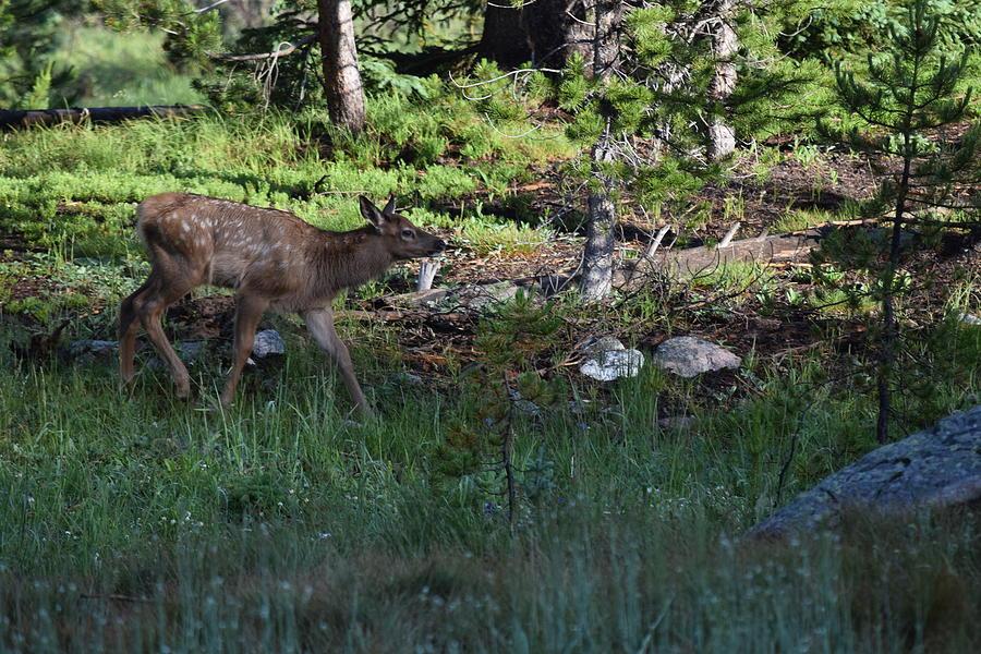 Animal Photograph - Baby Elk Rmnp Co by Margarethe Binkley