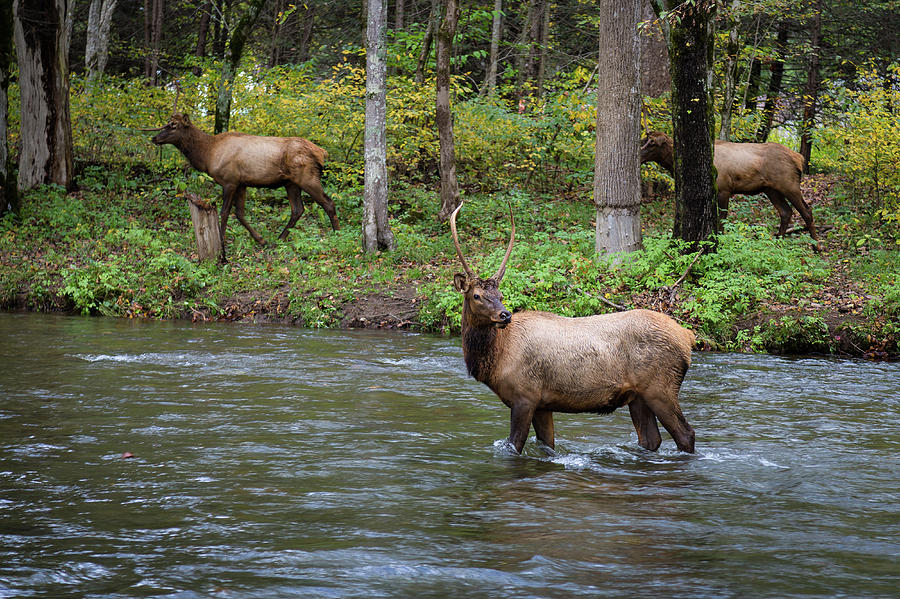 Elks by the Stream by Tim Stanley