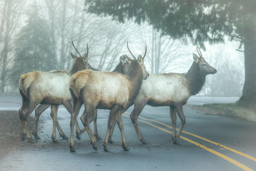 Elk Crossing 0749 Photograph