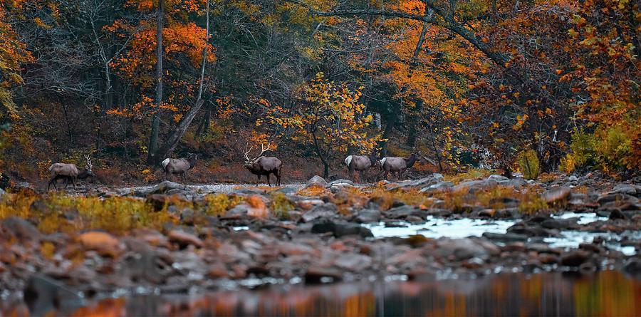 Elk Photograph - Elk Crossing by Garett Gabriel