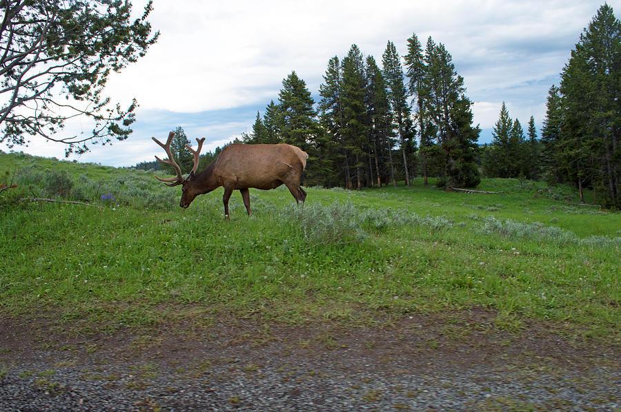 Elk Photograph - Elk Feeding by Linda Kerkau