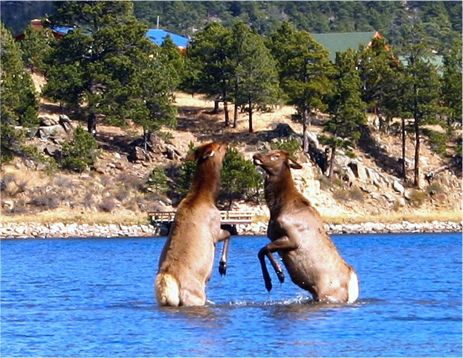 Elk Photograph - Elk In Lake Estes by Perspective Imagery