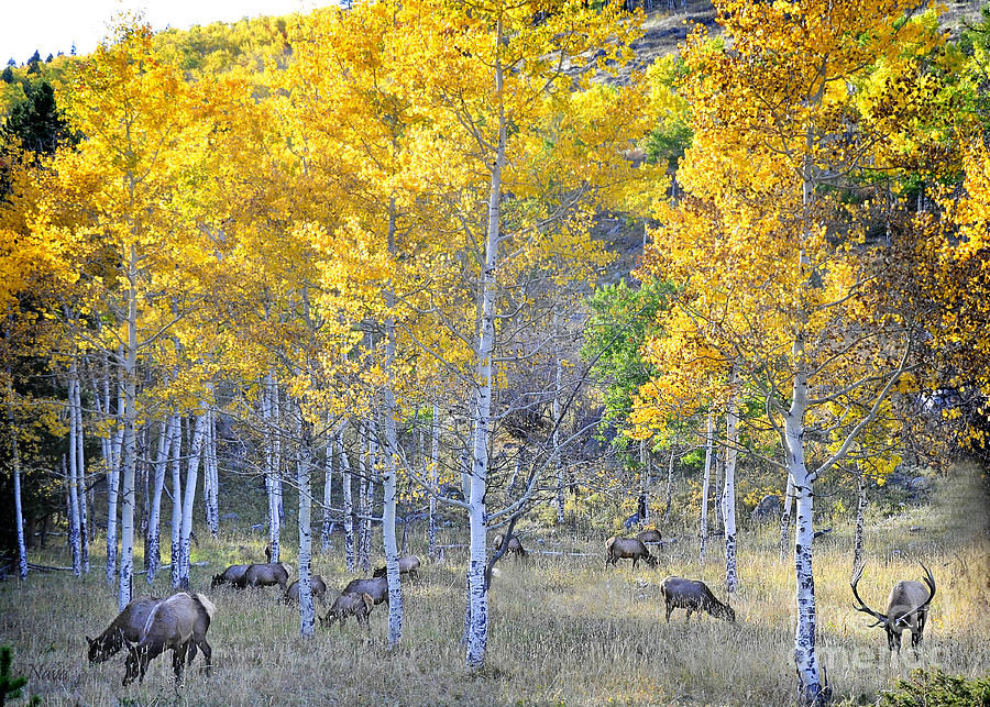 Nature Photograph - Elk In Rmnp Colorado by Nava Thompson