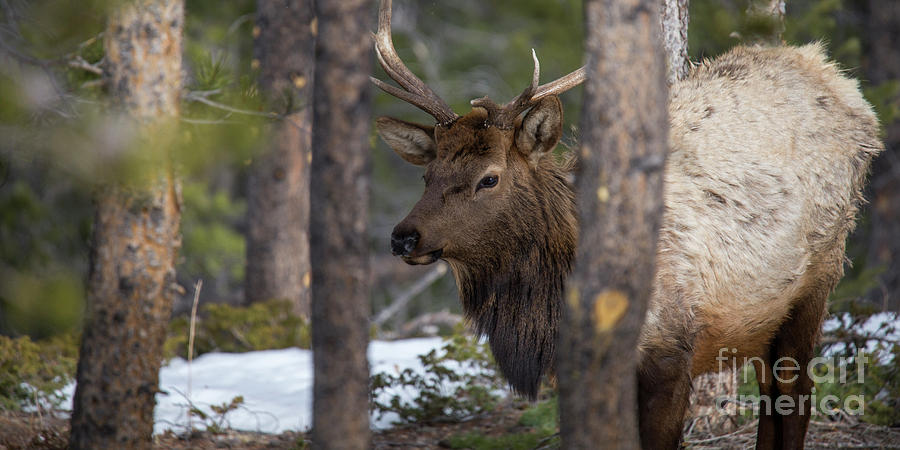 Elk Photograph - Elk In Rocky Mountain National Park by Twenty Two North Photography