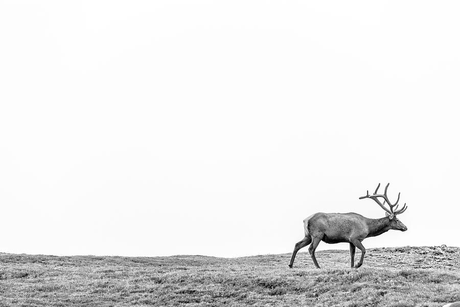 Elk in the Rockies  by John McGraw