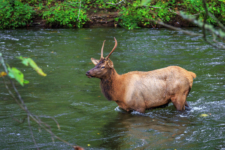 Elk in the Stream 2 by Tim Stanley