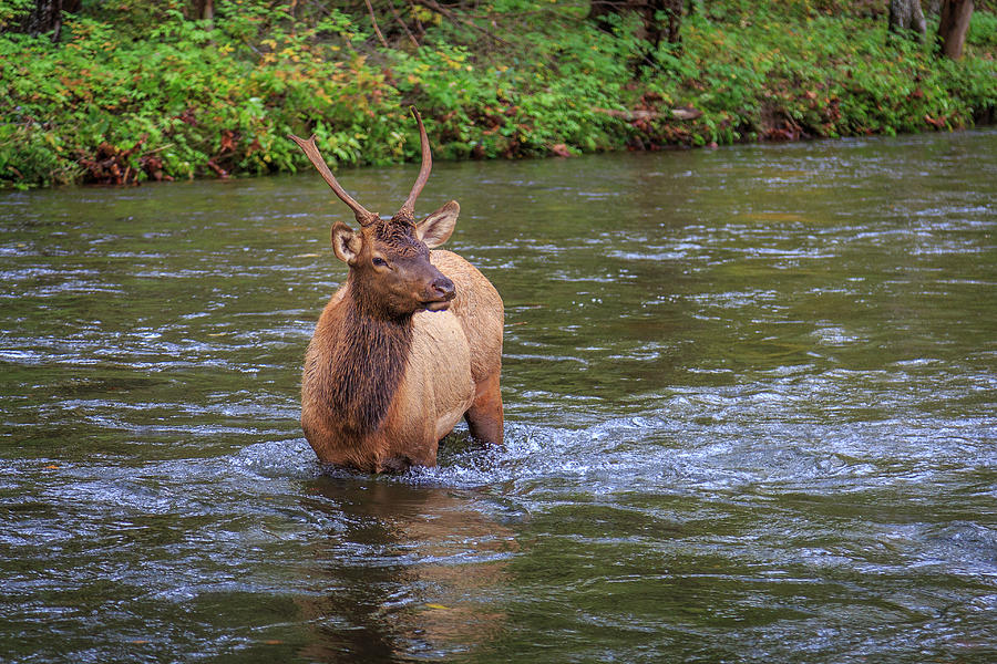 Elk in the Stream 3 by Tim Stanley