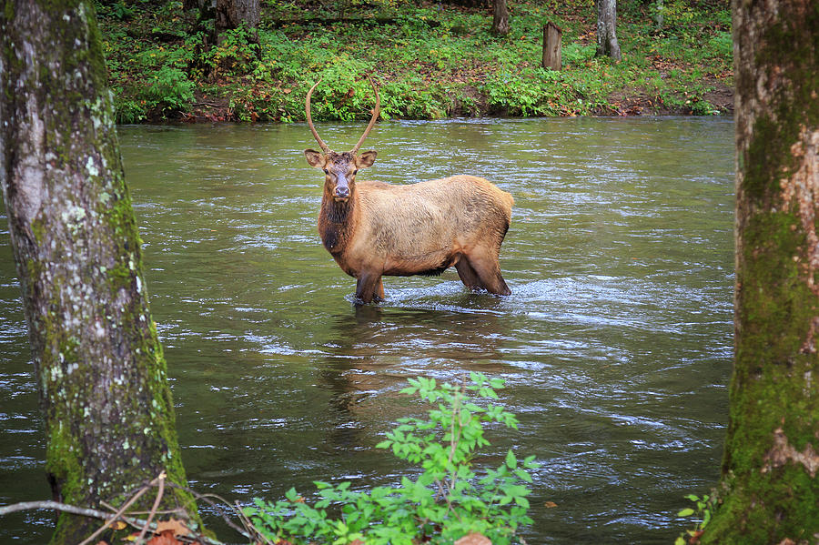Elk in the Stream by Tim Stanley