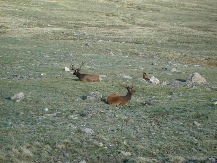 Elk Photograph - Elk Trio by Kelly Miller