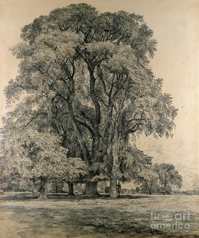 Elm Trees In Old Hall Park Drawing - Elm Trees In Old Hall Park by John Constable
