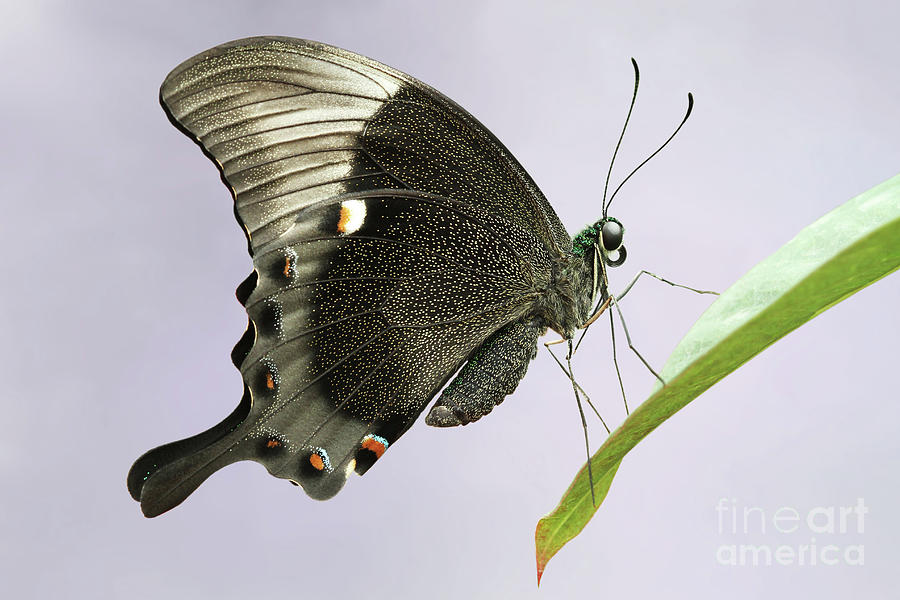 Emerald Peacock Swallowtail Butterfly #10 V2 by Judy Whitton