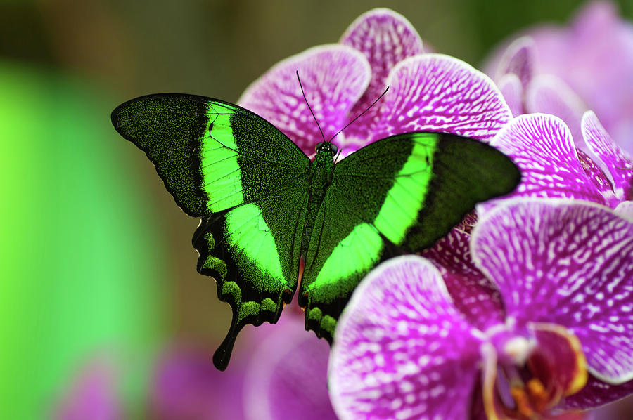 Emerald Swallowtail On Purple Orchid. Beauty In Frame 2 Photograph