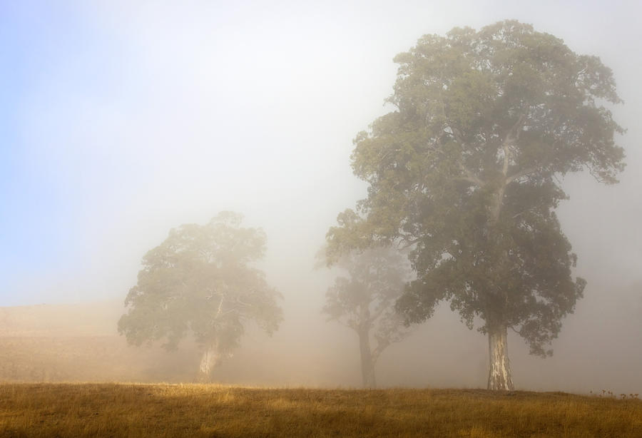 Gum Tree Photograph - Emerging From The Fog by Mike  Dawson