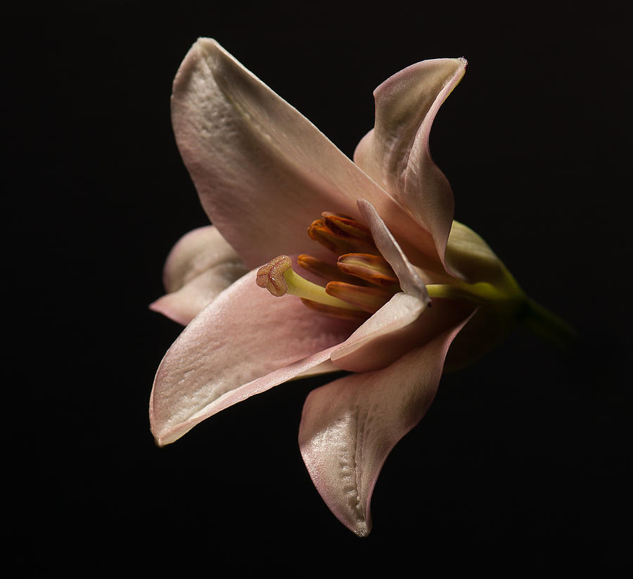 emerging lilly by Len Romanick
