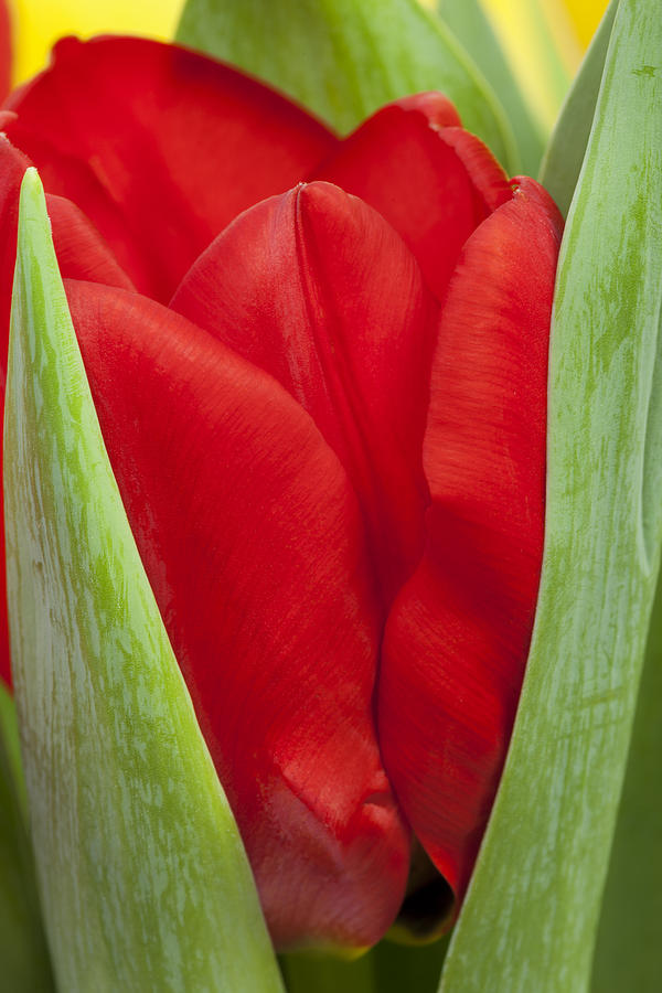 Tulip Photograph - Emerging Red Tulip by Gillian Dernie