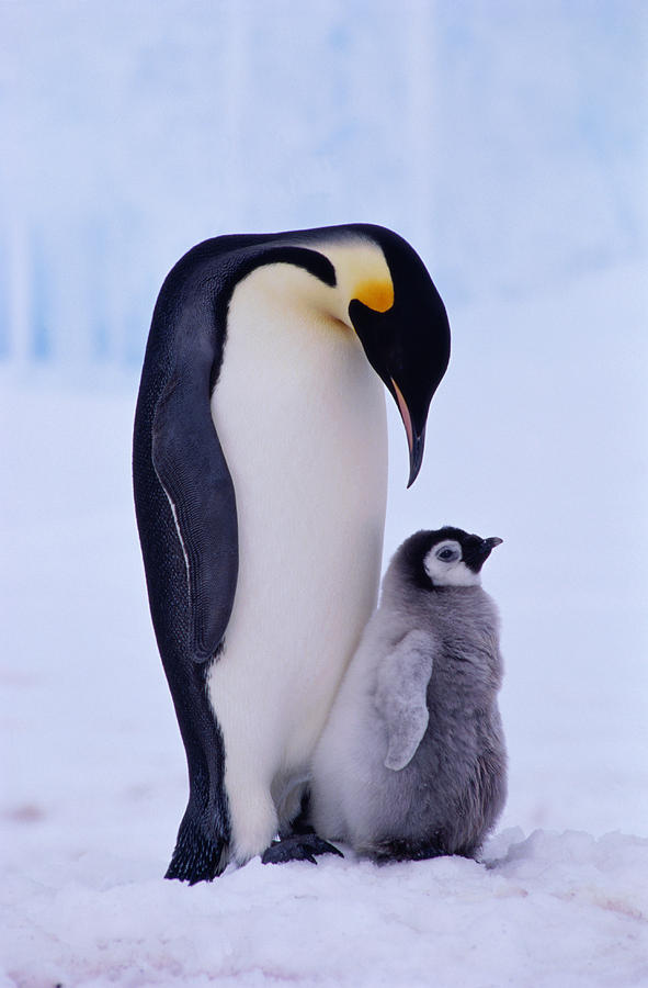 Vertical Photograph - Emperor Penguin Adult With Chick by Kevin Schafer