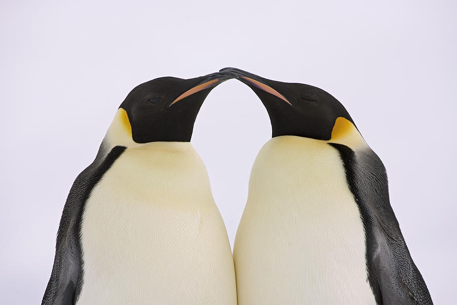 Emperor Penguin Kiss Photograph by Ingo Arndt