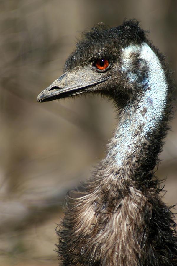 Emu Portrait Photograph