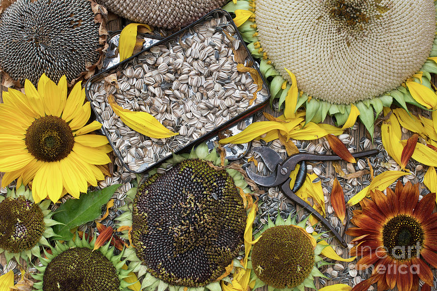 Helianthus Annuus Photograph - End Of Season by Tim Gainey