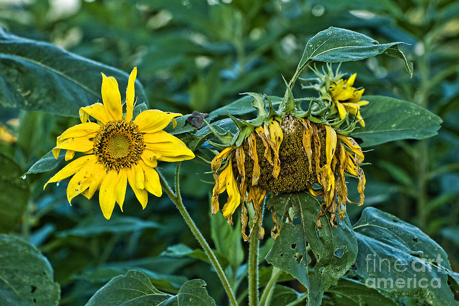 Sunflowers Photograph - End Of The Season by Edward Sobuta