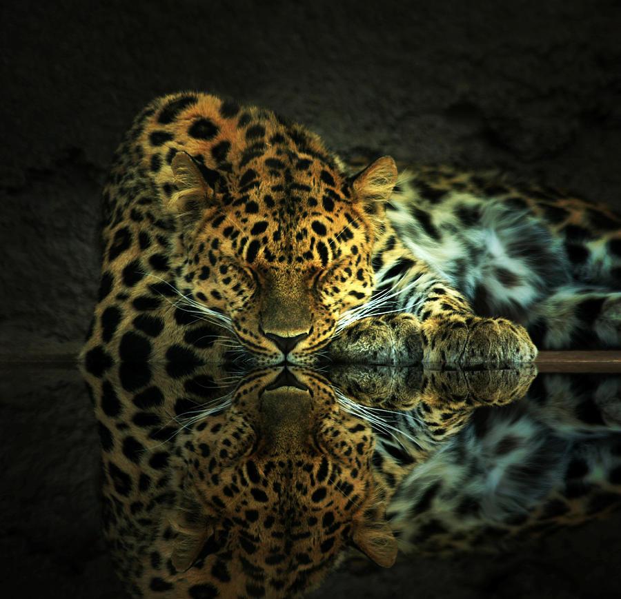 Leopard Photograph - Endangered by Gene Praag