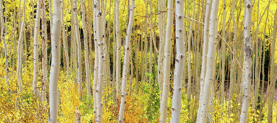 Endless Aspens Point 44 by Ryan Moyer