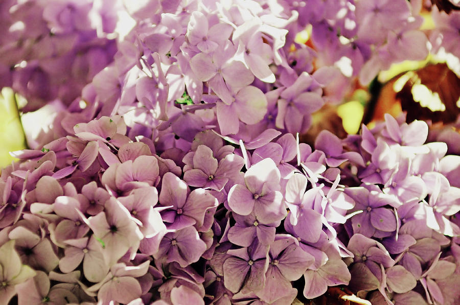 Hydrangea Photograph - Endless Summer Color by JAMART Photography