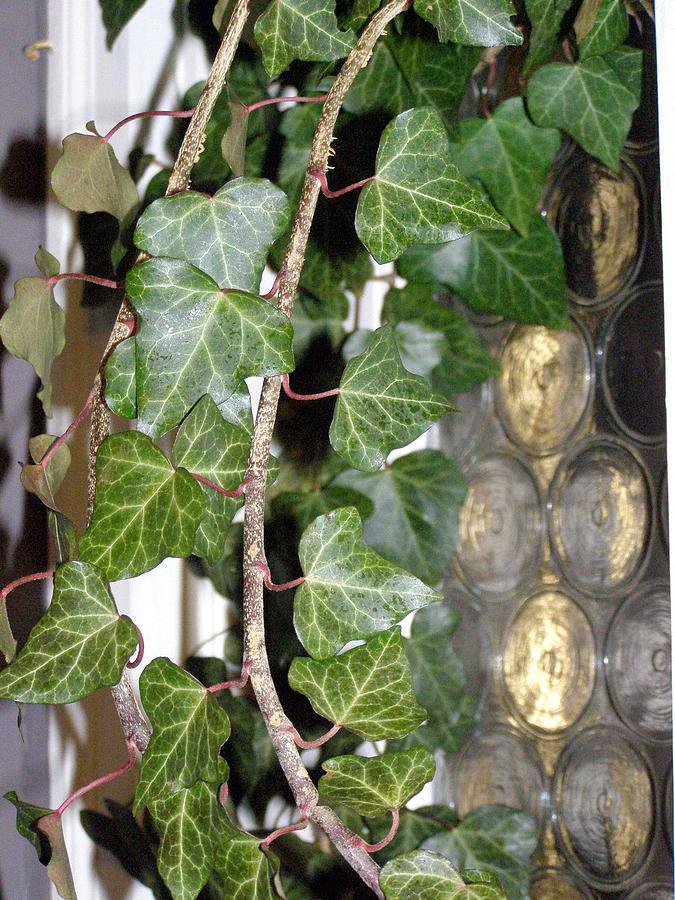 Ivy Photograph - English Ivy by Christine Sullivan Cuozzo