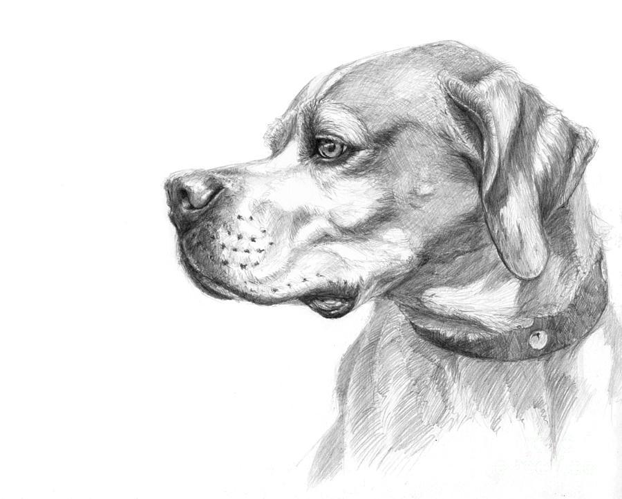 Pointer Drawing - English Pointer Sketch by Svetlana Ledneva-Schukina