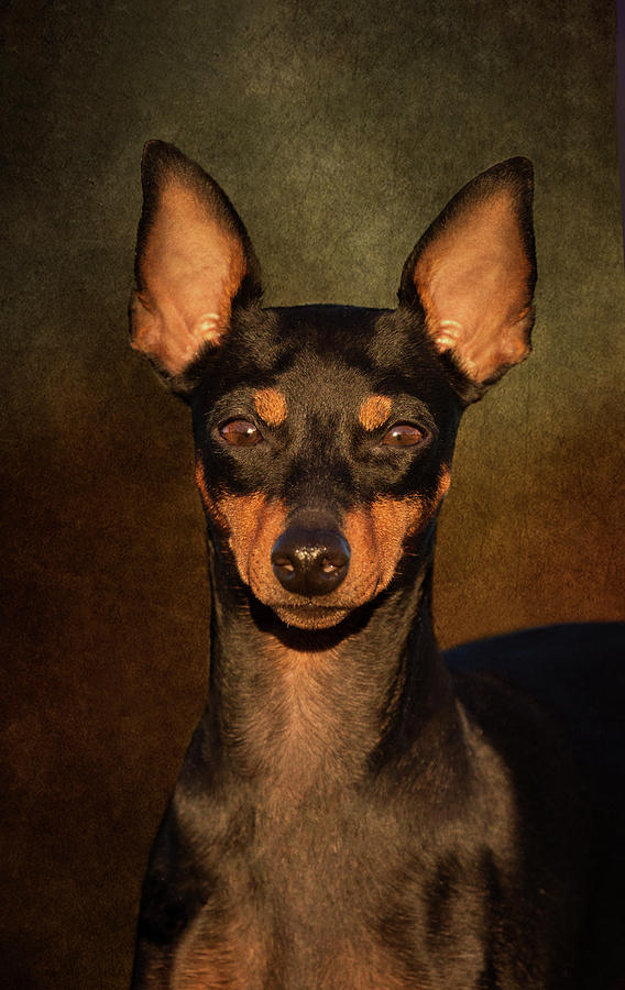 Dog Photograph - English Toy Terrier by Diana Andersen