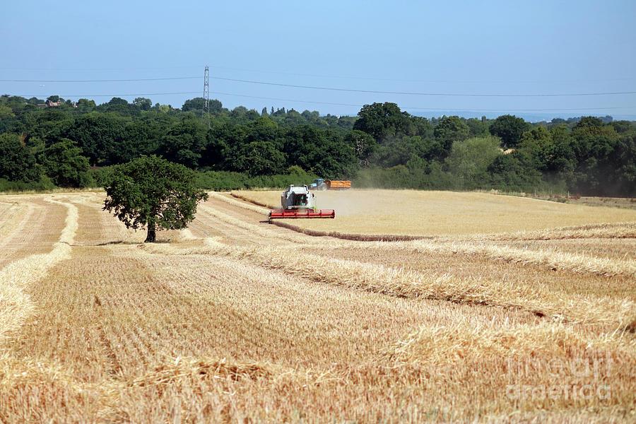 English wheat harvest  by Julia Gavin