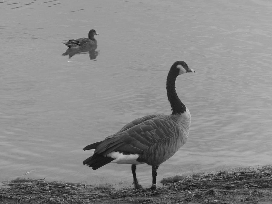 Geese Photograph - Enjoying The Water  by Cera Bauer