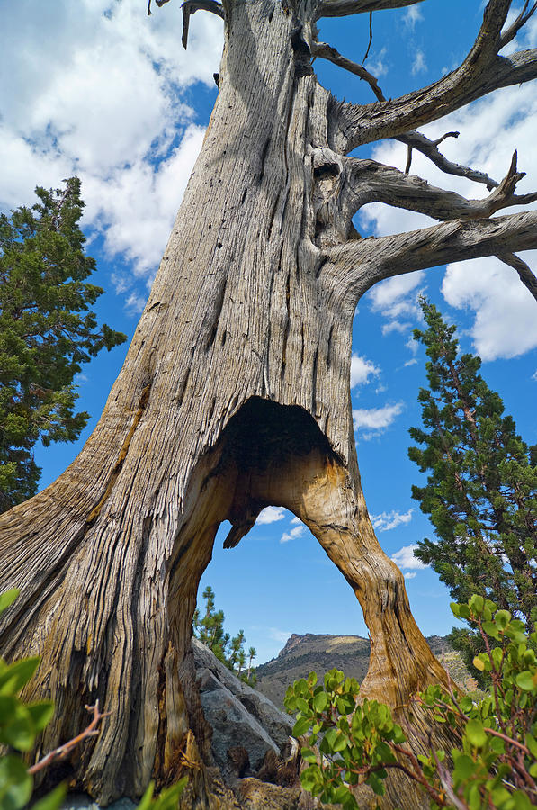 Ent Tree on the Move by Frank Lee Hawkins Eastern Sierra Gallery