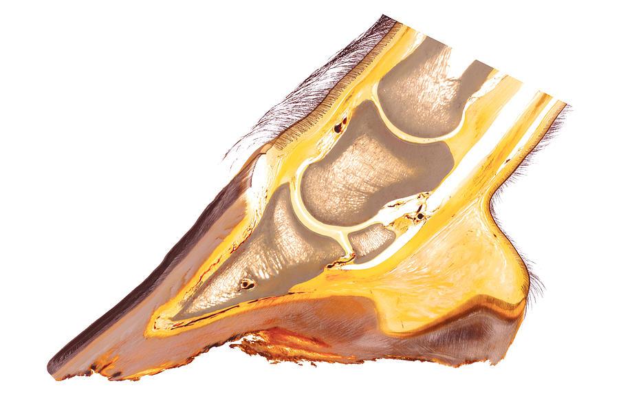 Equine Foot Anatomy 30215 Sculpture by Christoph Von Horst