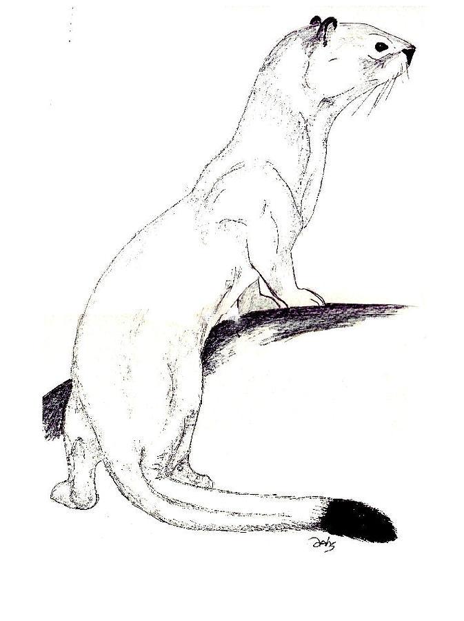 Weasel Painting - Ermine by Debra Sandstrom
