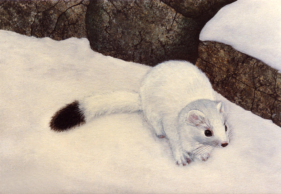 Ermine In Winter Painting by Frank Wilson