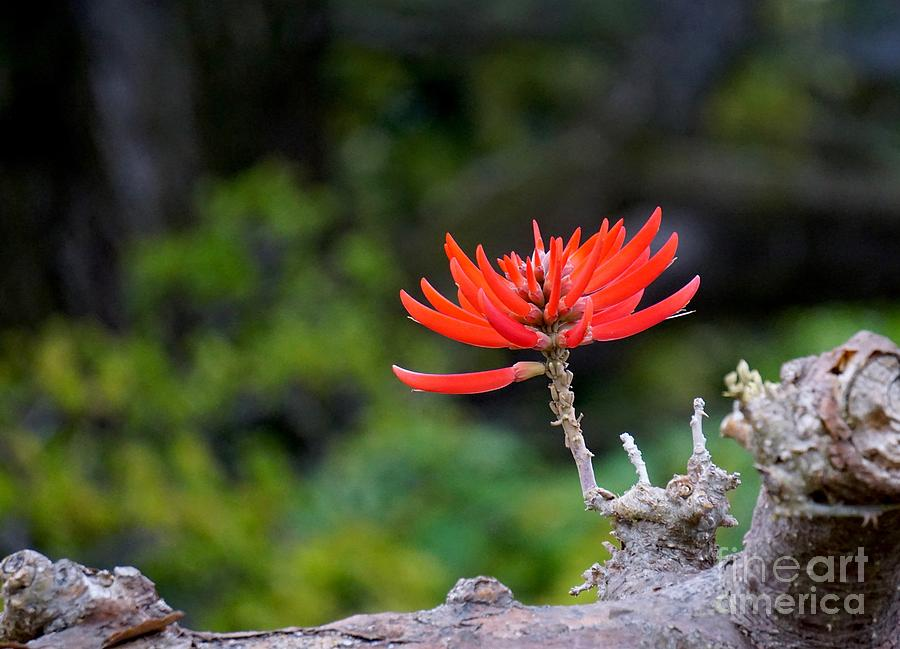 Erythrina coralloides by Eric Suchman