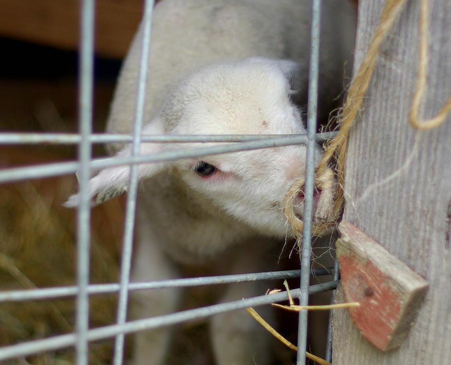 Lamb Photograph - Escape Artist by Linda Mishler