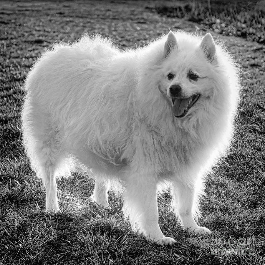 American Eskimo Photograph - Eskie Spitz  by Olivier Le Queinec